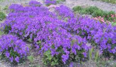Фіалка рогата - багаторічна садова рослина (біла і