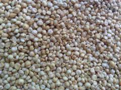 Семена суданской травы оптом от