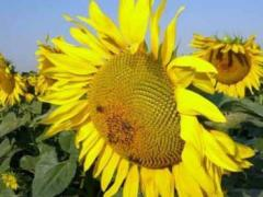Sowing Hidalgo's sunflower, the early harvest
