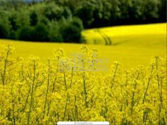 Рапсовое масло для производства биодизеля. ОПТ.