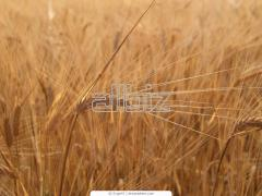 Культуры зерновые, зерновые, бобовые и крупяные