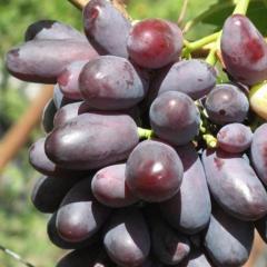 Виноград Сувенир черный