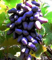Продажа винограда в Украине