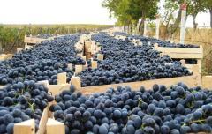 Продам свежий виноград Молдова