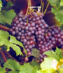 Продам свежий виноград