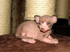 To Koty|kupit a kitten Canadian sfinksa|sfinks