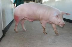Pigs breeding, breeding male pigs of breed landras