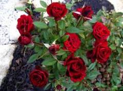 Саженцы роз, розы бордюрные.