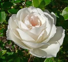 Сажанцы роз. Розы: плетистые, бордюрные,