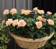 Саженцы роз. Около 50 сортов роз: плетистые,