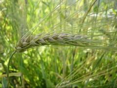Seeds of winter barley wholesale.