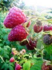 Raspberry saplings Polan's grade