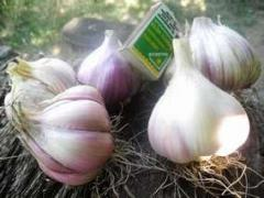 Garlic, seeds of garlic, odnozubk of garlic