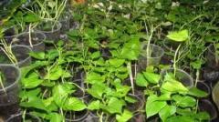 Городин, Продаж розсади батата, Батат
