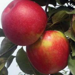 Саженцы яблонь Молдавской Селекции Айдарет