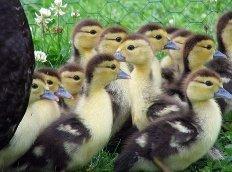 Комбикорм для водоплавающей птицы всех возрастов.