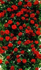 Экцельза. Саженцы плетистых роз