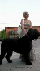 Russian black terrier, elite puppies