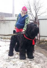 The Russian black terrier, puppies, are viscous