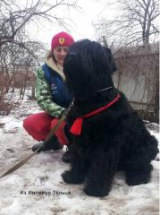 Magnificent puppies of the Russian black terrier