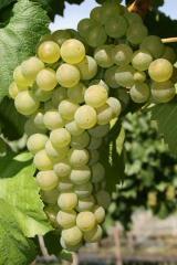 Саженцы винограда Шардоне винный сорт