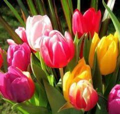 Луковицы тюльпанов Осень