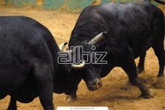 Bulls on meat LARGE WHOLESALE!!! To order in