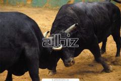 Быки на мясо большой ОПТ!!! Заказать в Одессе