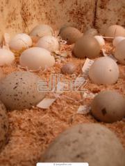 Яйца инкубационные и диетические перепелиные