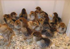 Цыплята кур породы Кучинская Юбилейная заказ на
