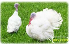 Turkey-cocks, Turkeys