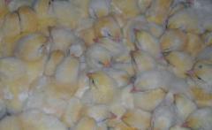 Los pollos de Broyler КОББ-500, РОСС-308 Tsyplyata