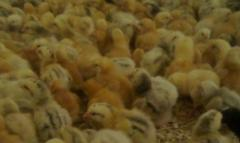 Chickens Broiler of KOBB-500, ROSS-308 (Ross-308)