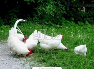 Hens meat - egg