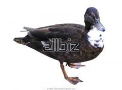 Ducks Mulard.