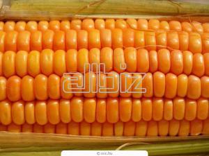 Оптовые поставки кукурузы, возможен экспорт