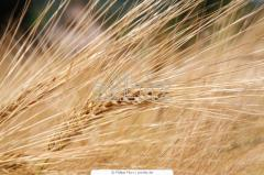 Barley a harvest of 2013, delivery across Ukraine