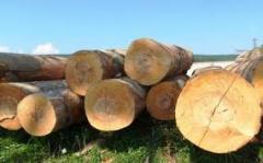 Древесина хвойных пород дерева