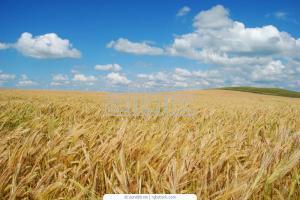 Malt barley Across Ukraine and for expor
