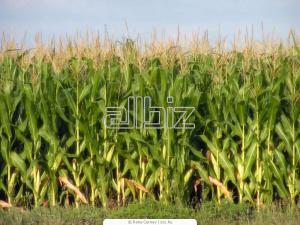 Export deliveries of corn