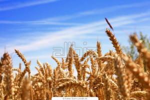 Wheat of firm grades