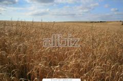 Barley brewing, for expor