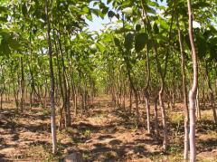 Saplings of Persian walnut high-quality