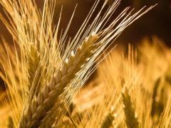Barley is possible expor