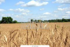 Пшеница. Пшеница семейства злаки. Зерновые,