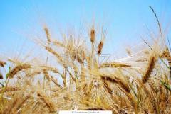 Barley winter a harvest of 2013, for expor