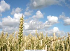 Wheat fodder 4th class