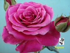 Роза розовая- Карат