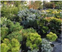 Саженцы декоративных растений, купить оптом