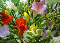Фрезии. Цветы срезанные. Купить цветы в